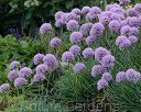 Czosnek ozdobny SUMMER BEAUTY Allium /C2,5