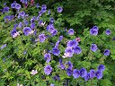 Bodziszek JOHNSON'S BLUE  Geranium /C5