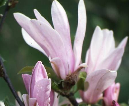magnolia 39 george henry kern 39 internetowy sklep ogrodniczy. Black Bedroom Furniture Sets. Home Design Ideas