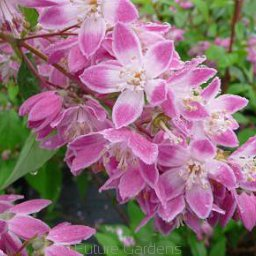 Żylistek mieszańcowy 'STRAWBERRY FIELDS' Deutzia hybrida