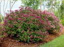 Lilak BLOOMERANG® Dark Purple Syringa C3/60cm