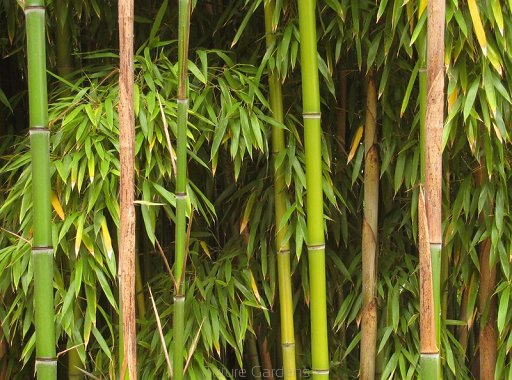 bambus ogrodowy phyllostachys bissetii c2 future gardens. Black Bedroom Furniture Sets. Home Design Ideas
