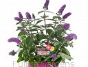 Buddleja PURPLE SPLENDOR 'Hinebud2' /C2