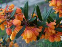 Berberys prostolistny ORANGE KING Berberis linearifolia 'Orange King'