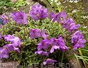 Rhododendron radicans /C1