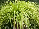Turzyca EVERILLO®  Carex oshimensis /P9
