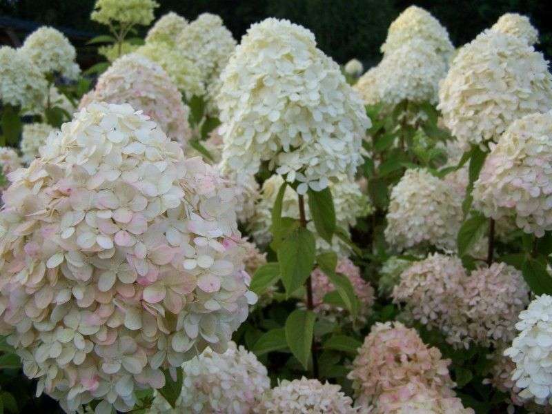 hortensja bukietowa phantom hydrangea paniculata c5 future gardens. Black Bedroom Furniture Sets. Home Design Ideas