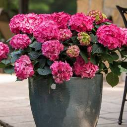 Hortensja ogrodowa SUMMER LOVE® Endless Summer Hydrangea macrophylla /C3