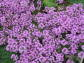 Macierzanka piaskowa MAGIC CARPET Thymus serpyllum /C1,5