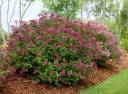 Lilak BLOOMERANG® Dark Purple Syringa C5/60-80cm