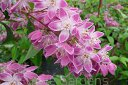 Żylistek mieszańcowy 'STRAWBERRY FIELDS' Deutzia hybrida C2/50cm