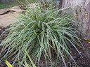 Carex oshimensis 'EVEREST'® Turzyca /C2