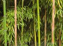 Bambus ogrodowy Phyllostachys bissetii C3/30cm