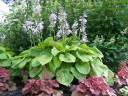Hosta SUM and SUBSTANCE Funkia /C2