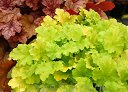 Żurawka LIME RICKEY  Heuchera