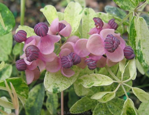 Akebia pi ciolistkowa variegata p15 80cm - Fiori a campanella rossi ...