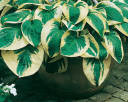 Hosta WIDE BRIM Funkia /C2