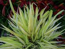 Hakonechloa macra 'STRIPE IT RICH' /C2,5