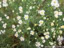 Aster wrzosolistny HERBSTMYRTHE Symphyotrichum ericoides /C2
