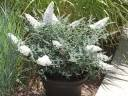 Budleja karłowa WHITE BALL Buddleja /C2 *8