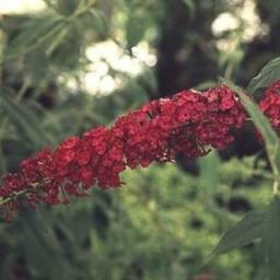 Budleja Dawida ROYAL RED Buddleja davidii /C3