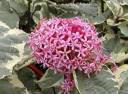 Clerodendrum bungei PINK DIAMOND syn.Clerodendrum foetidum C6/50cm