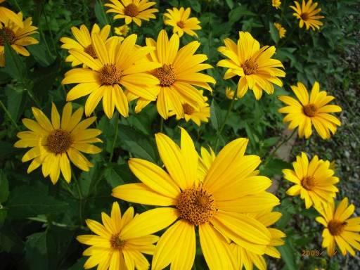 Zestaw Bylin Polne Kwiaty Zolte Future Gardens