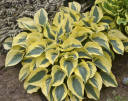 Hosta AUTUMN FROST Funkia /C2