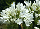 Agapant DOUBLE DIAMOND Agapanthus /P15