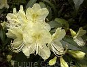 Rhododendron lutescens C5/60cm