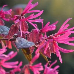 Loropetalum chinense FIRE DANCE C1,5/30cm