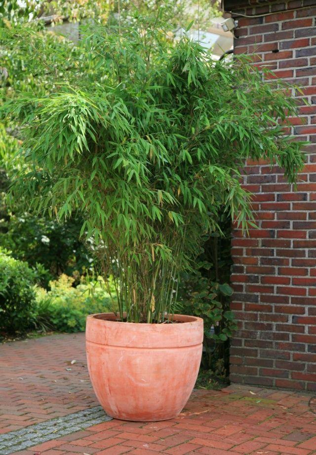 Bambus Ogrodowy Fargesia Rufa Fargesia Rdzawa C5 60cm Future Gardens