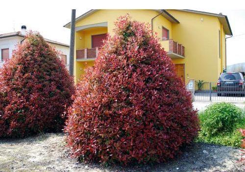 Głogownik Pink Crispy Oploo 5 Photinia Serratifolia C2