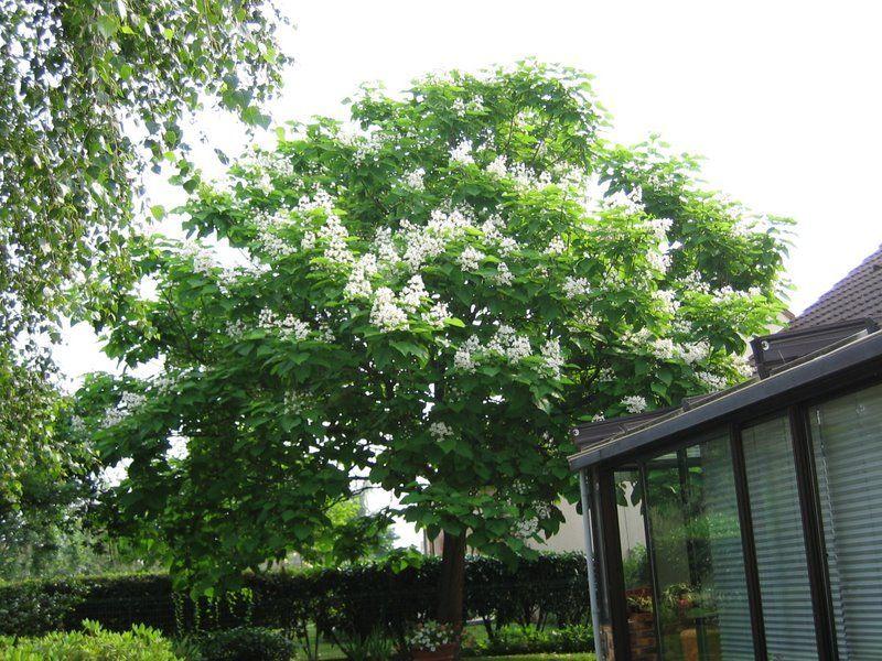 catalpa bignonioides surmia zwyczajna katalpa c5 80cm future gardens. Black Bedroom Furniture Sets. Home Design Ideas