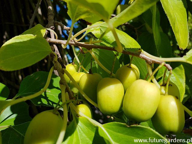 Aktinidia Issai Forma Krzewiasta Kiwi Actinidia Arguta C560cm