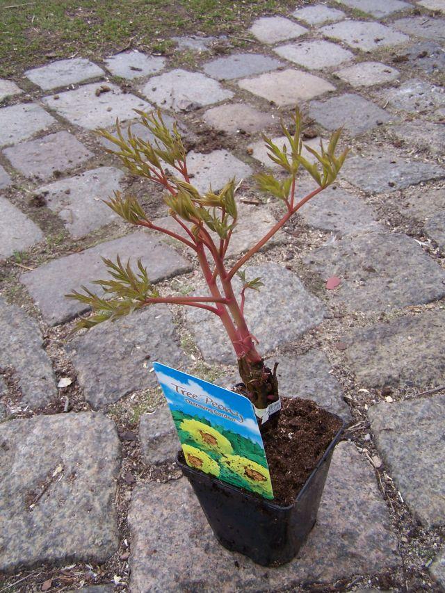 Japońska Piwonia Drzewiasta żółta Paeonia Suffruticosa P11