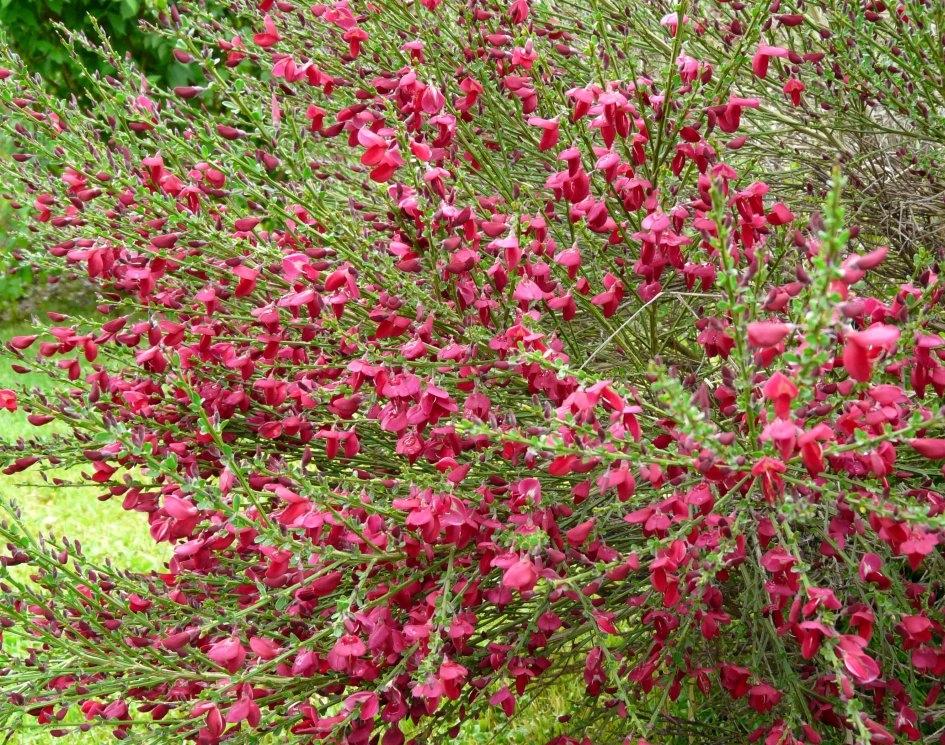 Żarnowiec różowy HOLLANDIA Szczodrzeniec Cytisus /C5 | Future Gardens